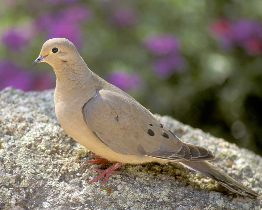 The Symbolism Of The Dove Symbolreader